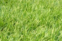 Overseed North Texas lawns with ryegrass from late September to November 1.