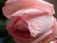 Roses wilt as a symptom of an underlying problem.