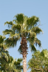 The sabal palm is the state tree of Florida.