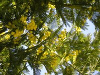 Mimosa trees are popular ornamental trees.