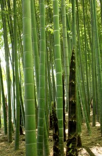 Example of bamboo nodes and internodes