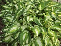 Hostas often have colorful, variegated foliage.