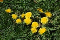 Prevent dandelions and other weeds from sprouting with a pre-emergent homemade herbicide.