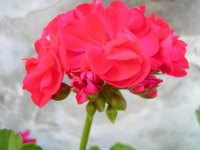 Meaning of red geraniums