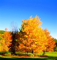 Like other maples, silver maples turn yellow and gold in the fall.