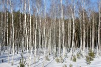 A grove of young birches in winter