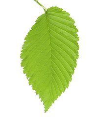 A healthy, disease-free elm leaf.