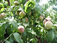 Peach trees attract a diverse, wide variety of insects.