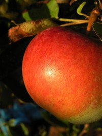 Apples can last through cold winter climates.