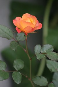 Deadheading helps produce attractive Floribunda blooms.