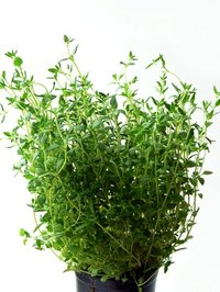 Thyme is a hardy perennial that comes in many varieties.