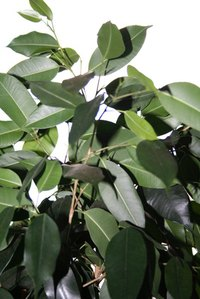 Ficus trees are common indoor plants.