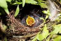 Many birds create their nests in hanging baskets.