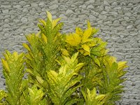 Croton is a colorful landscape plant that must be protected from freezing temperatures.