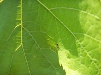 Ant damage is minimal to a zucchini plant but may indicate a bigger problem.