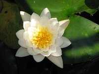 Water lilies have roots that look like iris rhizomes.