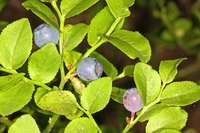 Blueberry bushes need protection from freezing conditions.