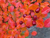 Deciduous barberry shrubs have excellent fall color.