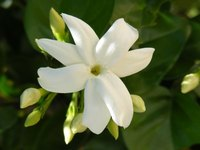 Jasmine blooms have a wonderful, exotic fragrance.