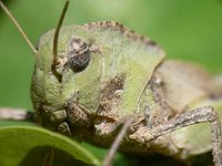 A grasshopper can eat 16 times its body weight in a day.