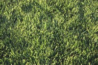 Zoysiagrass is green during the warm months and turns brown in the cool weather.