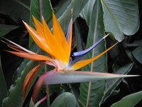 Birds of paradise can be propagated through division or seeds.
