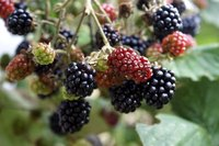 Growing blackberries in Arizona requires special knowledge given the many climates of the Southwestern state.
