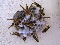 Traps such as the Fatal Funnel don't eliminate wasps completely.