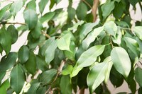 Braided ficus is a durable tree that requires a moderate level of care.