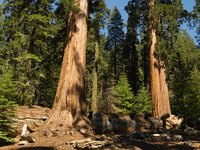 Sequoias are the oldest living trees on earth.