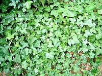 English Ivy spreads quickly and can just as quickly grow out of control.