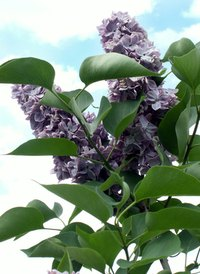 Lilacs are a popular old-fashioned shrub.
