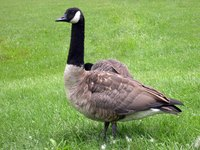 Goose down is often used in down comforters.