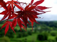 The Japanese red maple is a colorful addition to any landscape design.