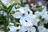 The sweet fragrance of nicotiana flowers emerges after dark.