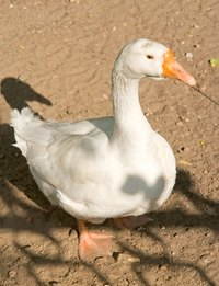 Real geese would hiss and snap if someone tried to put clothes on them.