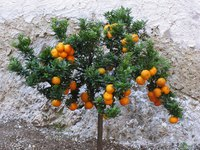 Dwarf citrus trees work well for people with limited gardening space.