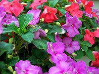 Impatiens are small, delicate flowering plants.