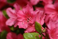 Azaleas produce a showy display of blossoms in the spring.