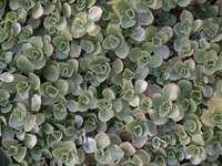 Plants in the sedum family often spread quickly to cover a lot of ground.