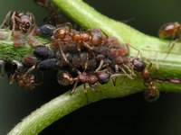 Fire ants are a common pest around the house.