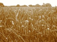 Wheat is an important crop across the United States.