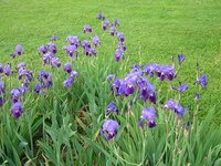 A small bed of two-tone purple Iris flowers.