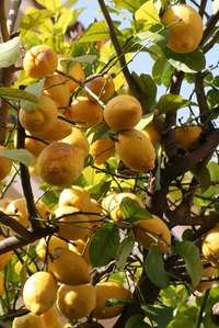 Citrus trees add color to home gardens.