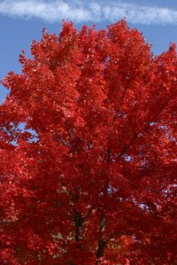 Red oak trees have leaves that turn bright red in winter.