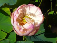 While known as the pink lotus, the plant can also produce whitish-colored flowers.