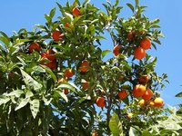 Tangerine trees may require pruning for various reasons.