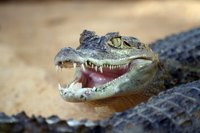 An alligator can be a dangerous and unwelcome guest on personal property.