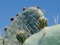 There are far more desert plants than just cacti to plant in desert gardens.