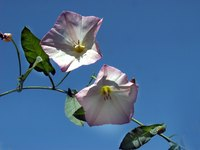 Bindweed is a hated weed in the United States.